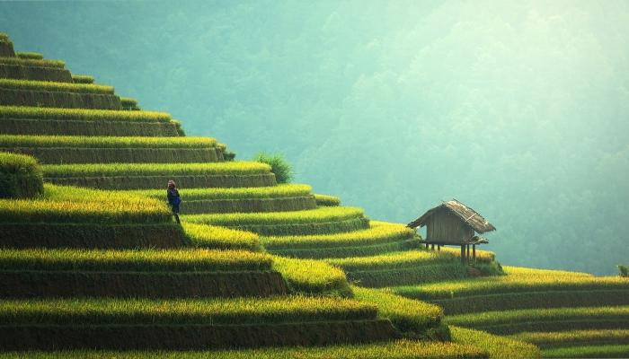 Riževa polja hranijo polovico prebivalstva.