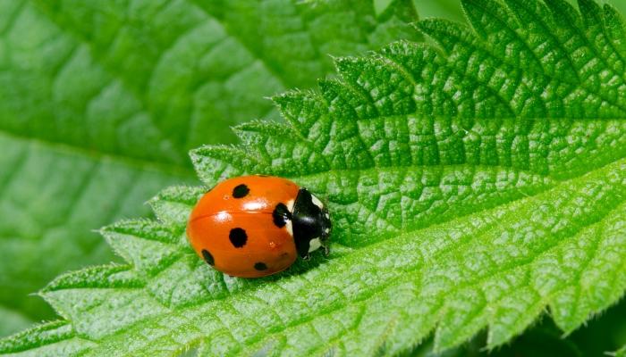 Koprivo boste našli tudi pod imenom Urtica dioica ali angleško - common nettle. Vir: hardyherbs.com